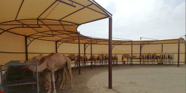 camel shelter supliers in uaeS